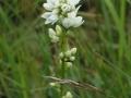 knäuel-glockenblume-weiß